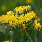 Wiesenbocksbart, Tragopogon by SmoothBreeze7
