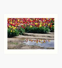 Tulips Reflecting Art Print
