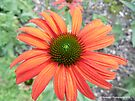 Echinacea - Tomato Soup - Coneflower by Barberelli