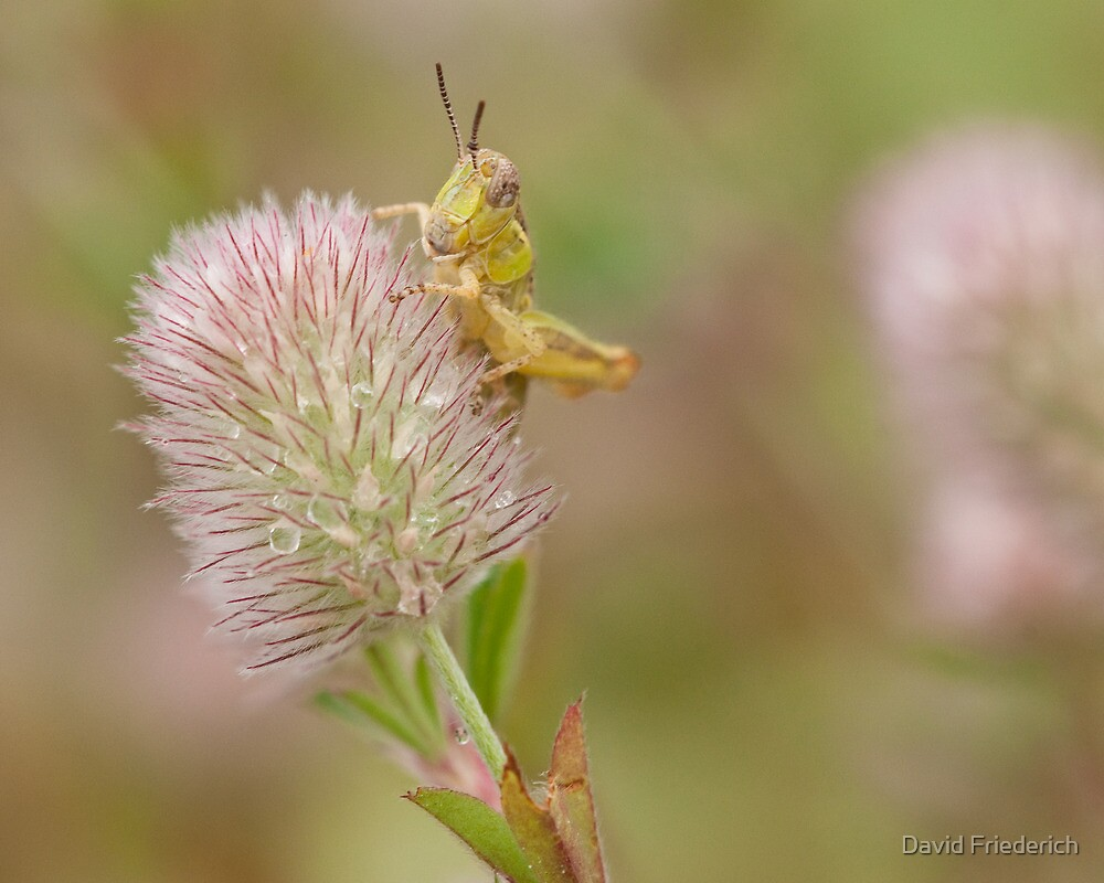 Grasshopper by David Friederich