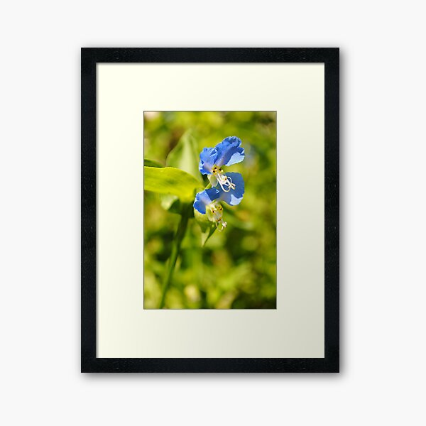 Blue Dayflower Framed Art Print