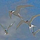 Arctic Terns in Flight by Brian Tarr