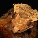 Gecko  by Scott Thompson