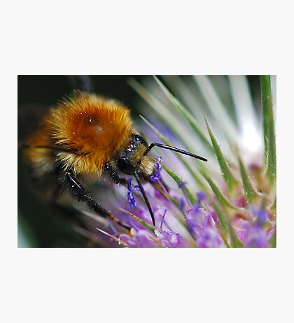 Bee and the thistle Photographic Print