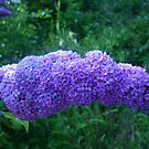 Buddleia in evening sunlight by Leyh