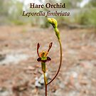 Hare Orchid, Leporella fimbriata in natural environment by JuliaKHarwood