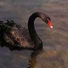 Black Swan in Sunset by Janika