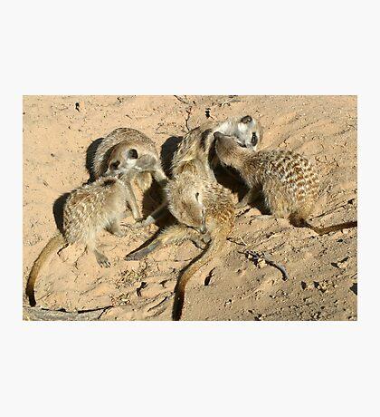 An arrangement of meerkats Photographic Print