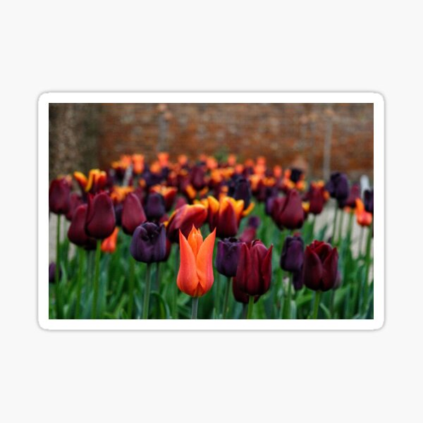 Tulips at Ulting Wick Sticker