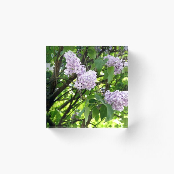 Blooming lilacs photo Acrylic Block