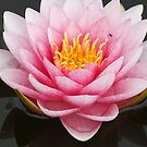 Waterlily Portrait by Deborah  Benoit