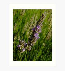 Lavender in morning sunshine Art Print
