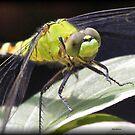 Dragonflies by Dennis Cheeseman
