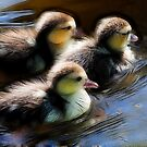 3 young ducks swimming in formation by Ted Petrovits