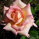 A Lovely Rose by Esperanza Gallego