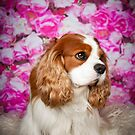 Harry | Cavalier King Charles Spaniel by Peggy Colclough