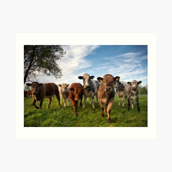 Cattle in Norfolk, UK Art Print