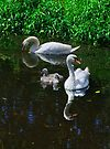 swans and cygnets, Goresbride, County Kilkenny, Ireland by Andrew Jones