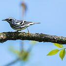 Black & White Warbler by EthanQuin