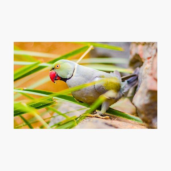 Indian Ringneck Parakeet Photographic Print