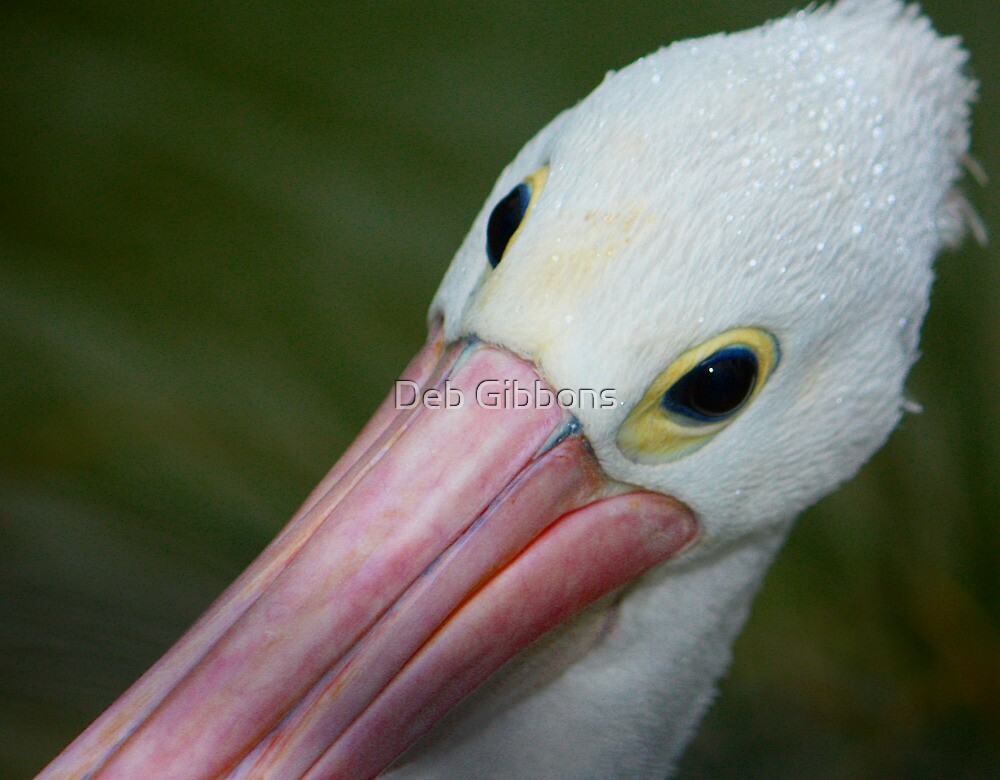 a pelican named Percy! by Deb Gibbons