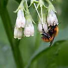 Common carder bee by pietrofoto