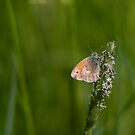 Small heath butterfly by pietrofoto
