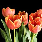 Flame Tulips on a Black Background by Lynn Bolt