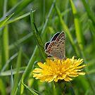 Sooty copper butterfly by pietrofoto