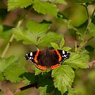 Red admiral butterfly by pietrofoto