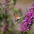 hummingbird hawk moth butterfly by pietrofoto