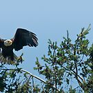 Bald Eagle Parents by David Friederich