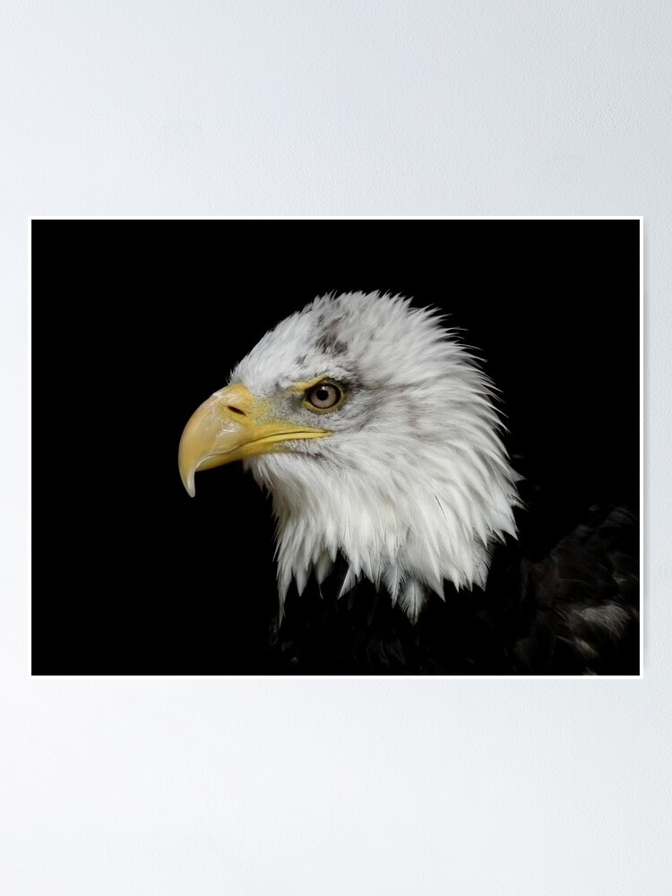 Alternate view of Eagle Portrait Poster