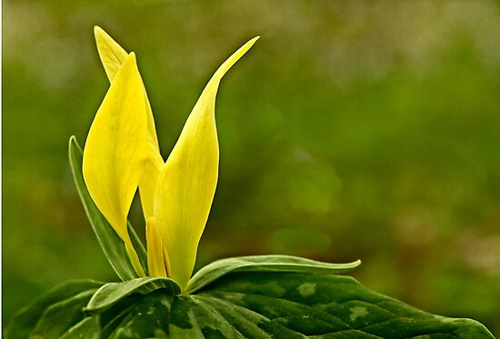 Yellow Trillium by cclaude