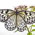 Paper Kite butterfly (Idea leuconoe) by Stephen Liptrot