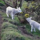 Lambs Puppy Food - Donegal Ireland  by mikequigley