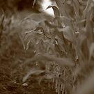 Corn Rows by Michael Kelly