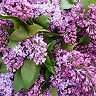 Lovely fragrant lilacs in France by Susan Moss
