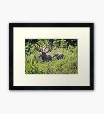 Smiling Bull Moose Framed Print
