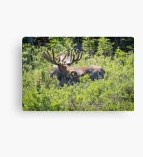 Smiling Bull Moose Canvas Print