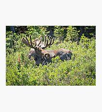 Smiling Bull Moose Photographic Print