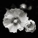 A monochrome Flower World : Hollyhocks by PhotomasWorld