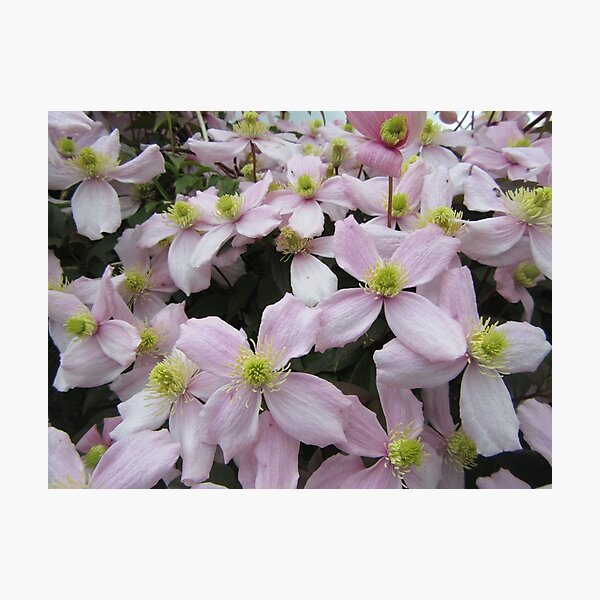 Clematis Montana Pink Perfection Photographic Print