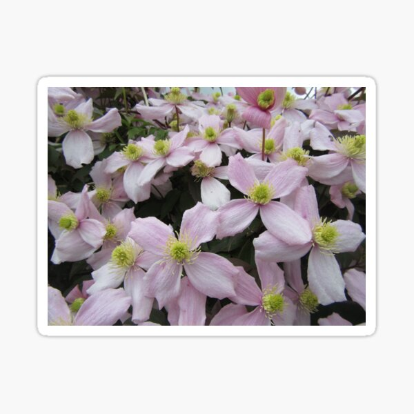 Clematis Montana Pink Perfection Sticker
