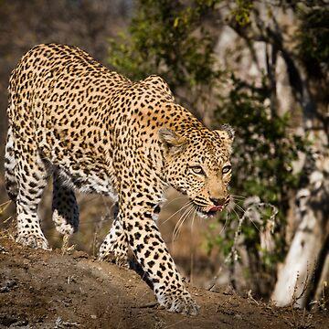 Leopard by tykeloiner