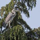 Grey heron by pietrofoto