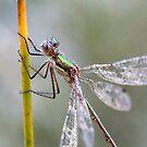 Damefly by pietrofoto
