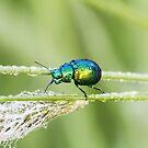 mint bug by pietrofoto