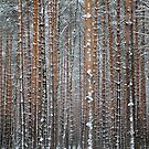 Close view of the winter pine tree forest by Sergey Orlov