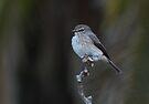 Flycatcher by Macky